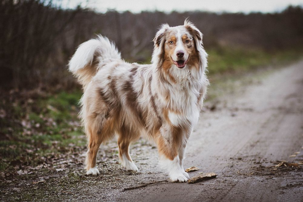 the top 10 smartest dog breeds australian shepherd