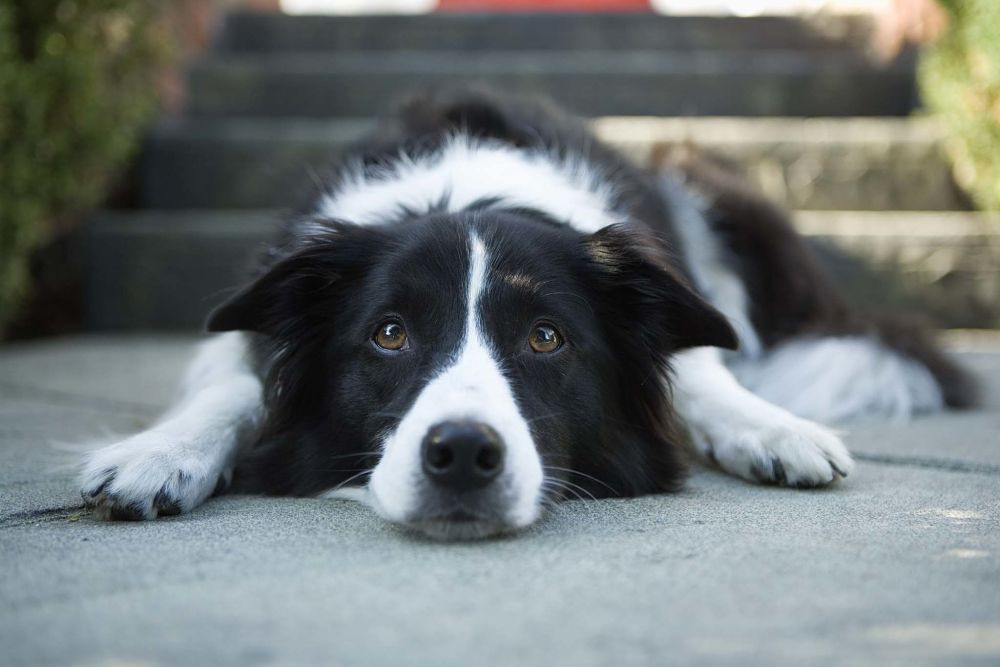 the top 10 smartest dog breeds border collie
