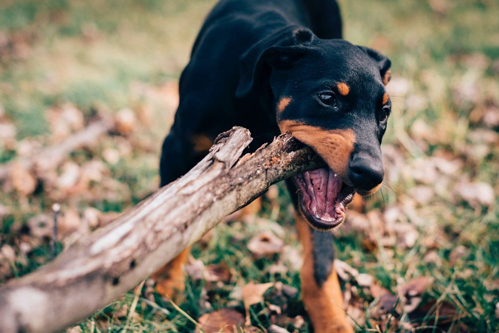 the top 10 smartest dog breeds doberman pinscher
