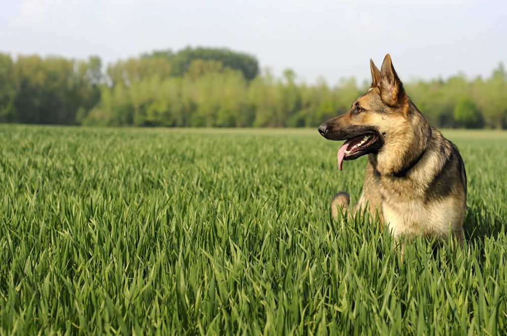 the top 10 smartest dog breeds german shepherd