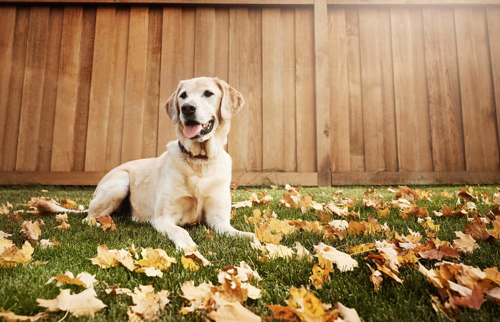 the top 10 smartest dog breeds labrador retriever