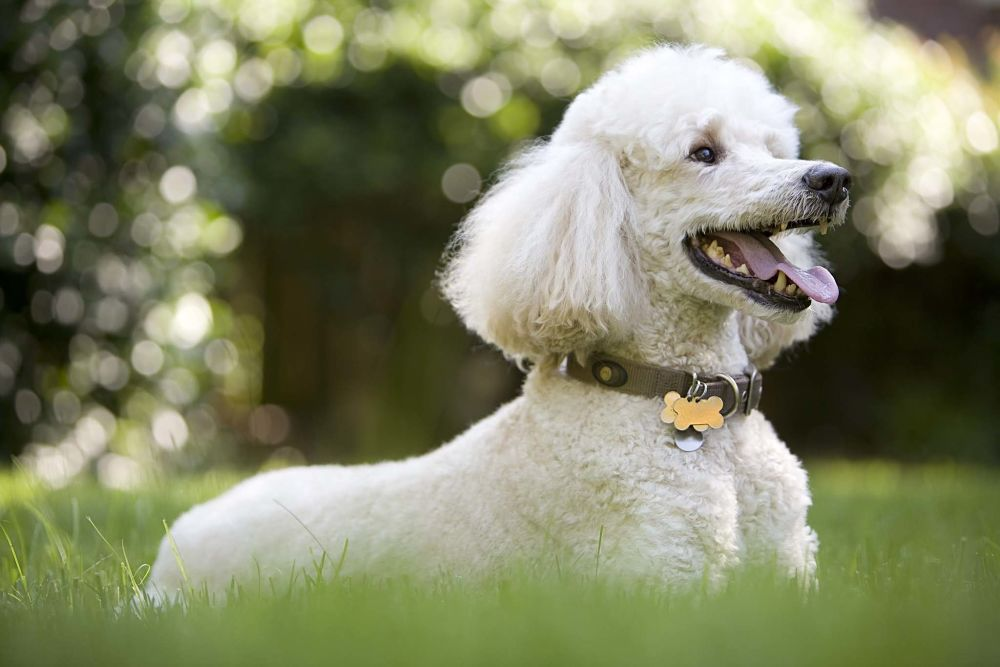 the top 10 smartest dog breeds poodle