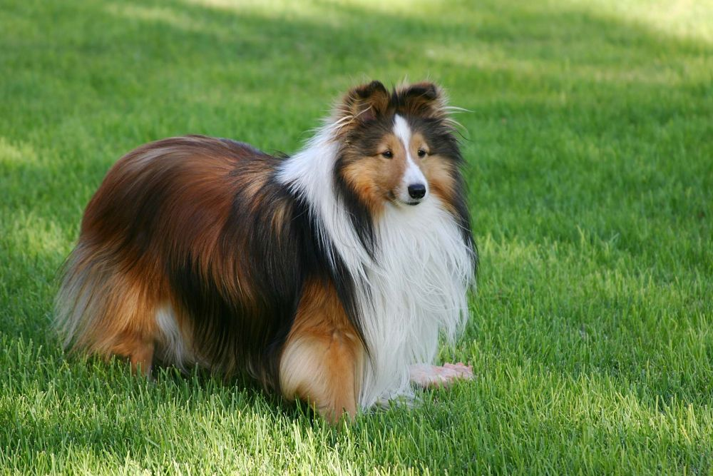 the top 10 smartest dog breeds shetland sheepdog