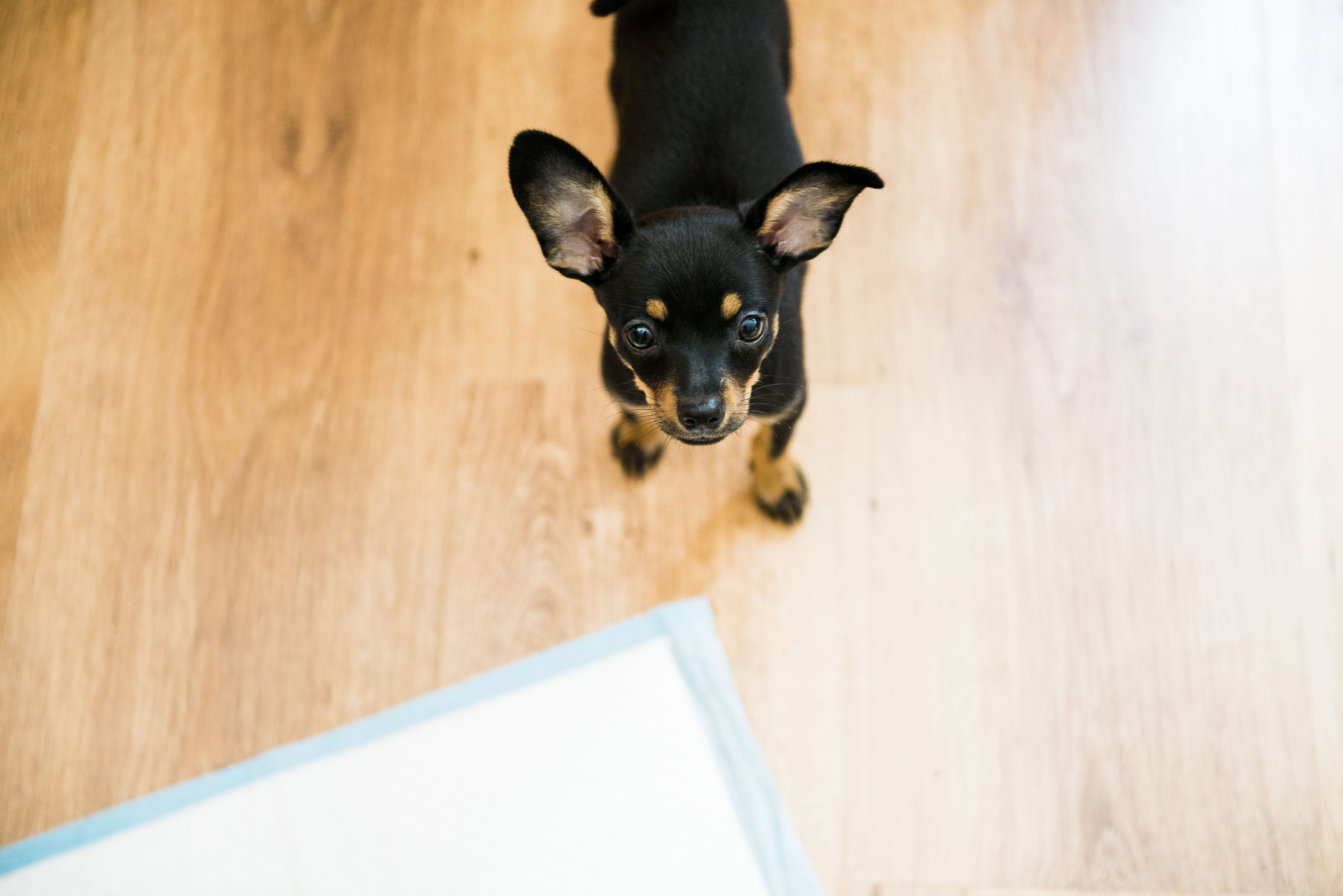 Pee Pads - How to Potty Train Your Dog