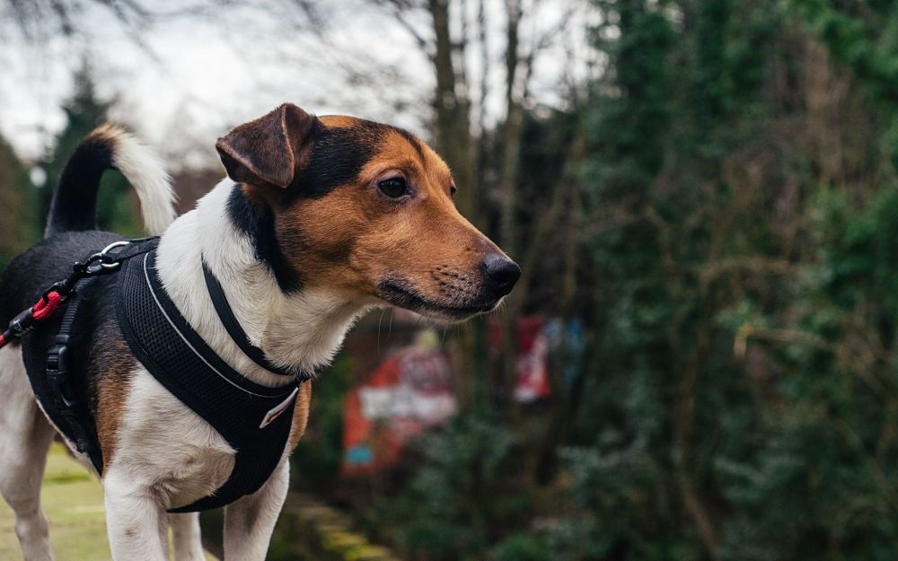 these are the worst dog breeds for cats jack russell terrier