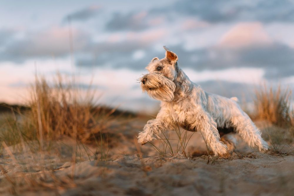 these are the worst dog breeds for cats miniature schnauzer