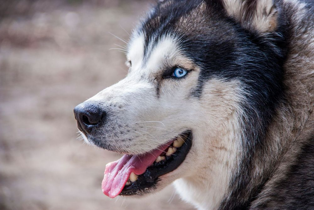 these are the worst dog breeds for cats siberian husky