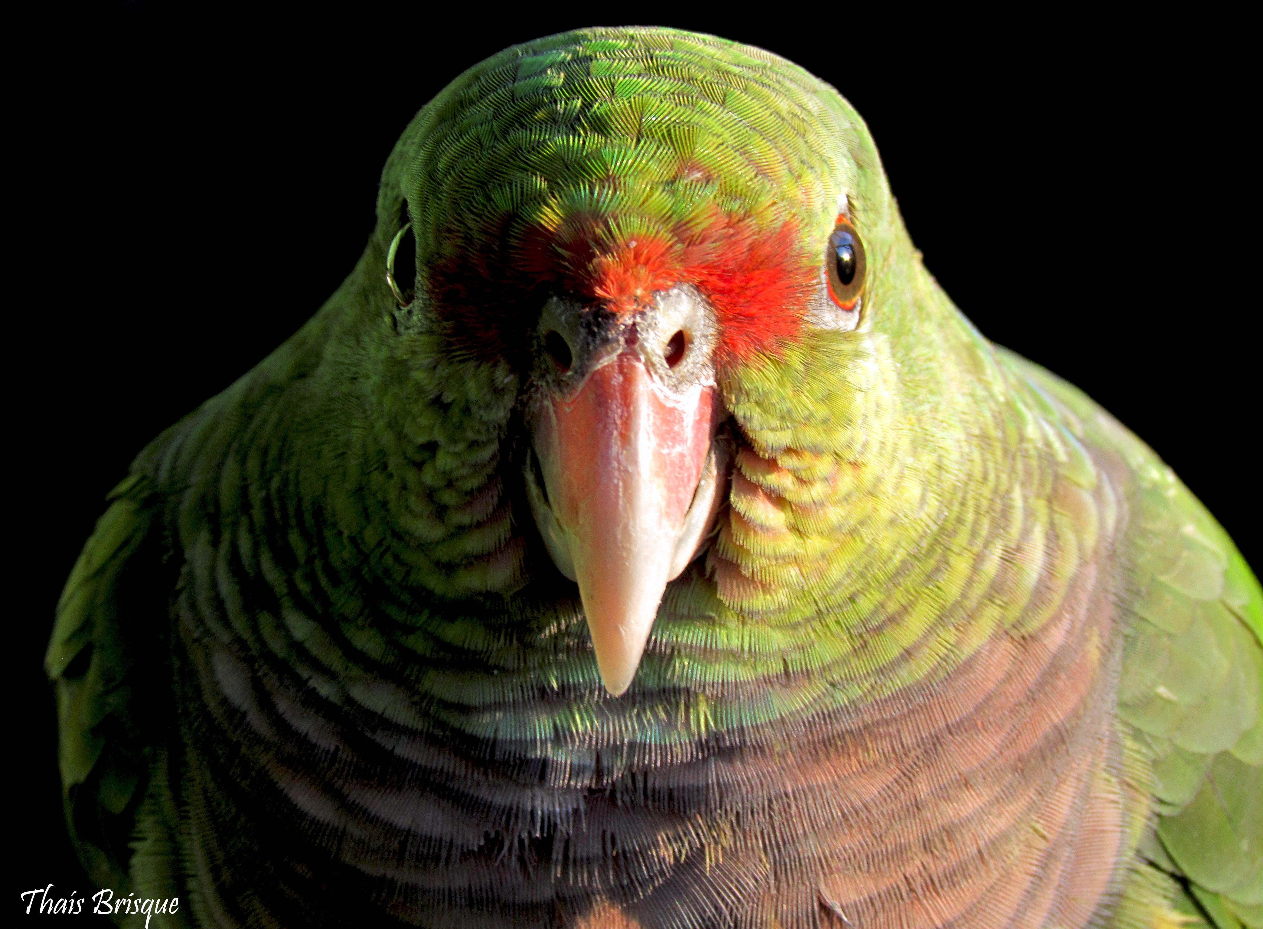 Nós protegemos o Papagaio-de-peito-roxo!