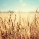 Kuvapankki viljapelto