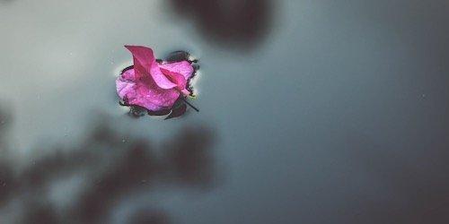 bright pink leaves floating on dark water