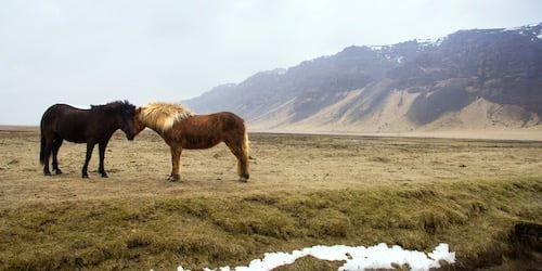 a dark brown horse and a light brown horse stand nose to nose in a field with mountains in the background