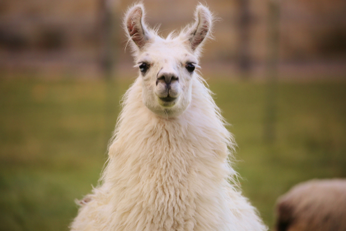 En lama kan bruges istedet for en stor dyr bil