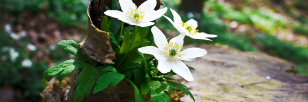 Białe kwiaty nie tylko dla narzeczonych
