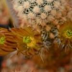 Echinocereus blumii dfm 0586 EL Conejo, Coahuila, MX