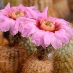 Echinocereus fitchii KKR 0194 Roma, Starr Co, Texas, USA
