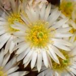 Echinocereus pulchellus ssp. sharpii SB 1569 La Ascencion, Nuevo Leon, MX