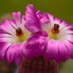 Echinocereus rigidissimus rubispinus Lau 88, Sierra Obscura, Chihuahua, MX