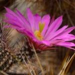 Echinocereus palmeri HK 1121 Cumbres de Majalca, Chihuahua, MX
