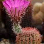 Echinocereus rigidissimus severní Bisbee, Cochise Co, Arizona, USA