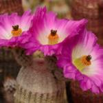 """Echinocereus rigidissimus """"albispinus"""" Alamos, Sonora, MX"""