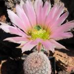 Echinocereus pectinatus Salinas, San Luis Potosi, MX (překrásné otrnění i květ)