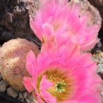 Echinocereus pectinatus cv. růžový trn hybrid MK