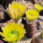 Echinocereus dasyacanthus dfm 04.4 Hueco Mts, El Paso Co, Texas, USA