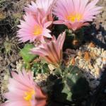 Echinocereus knippelianus ´kaplanii´ Canyon La Viga, Coahuila, MX