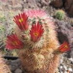 Echinocereus russanthus ssp. fiehnii Lau 1076 Santa Clara Canyon, Chihuahua, MX