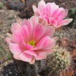 Echinocereus x roetteri AG 12P10 Jarilla Mts, Otero Co, New Mexico, USA