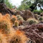 reichenbachii ssp. baileyi DJF 1308 - Granite, Greer Co, Oklahoma