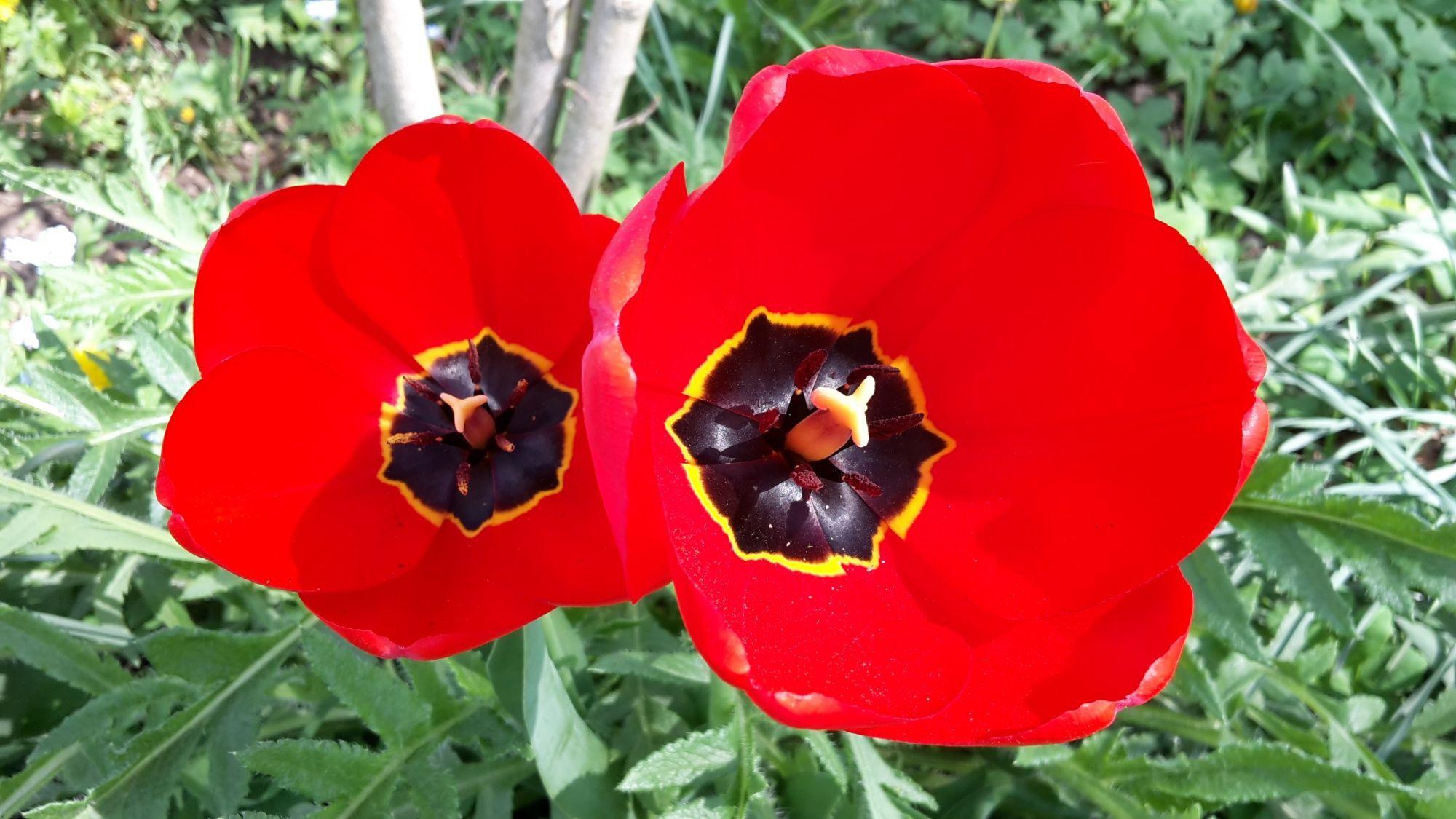 tulipány otevřely své kalichy