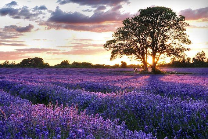 Levandulové pole v prosluněné Provence