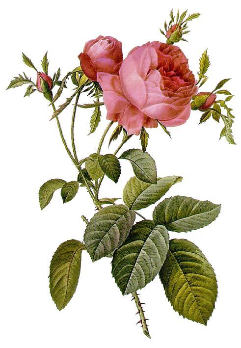 růže stolistá autor