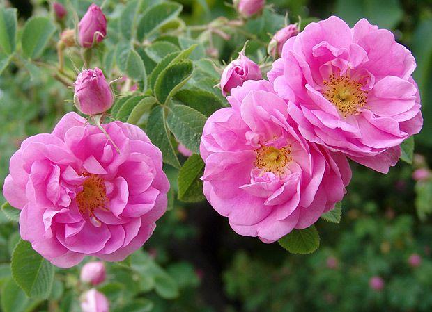 růže damašská