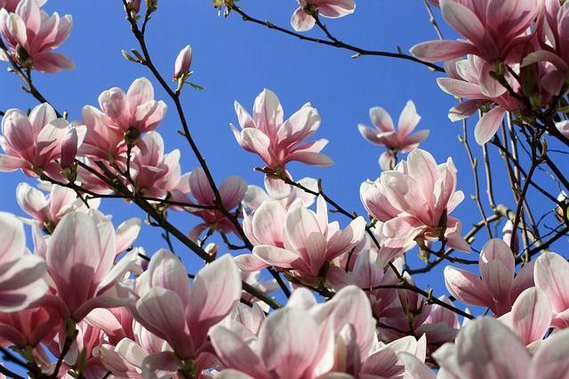 Kvety magnólie, zdroj: http://bit.ly/1F6AuOD