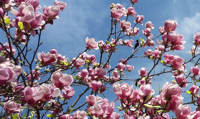 Elegancia v ružovom - kvety magnólie