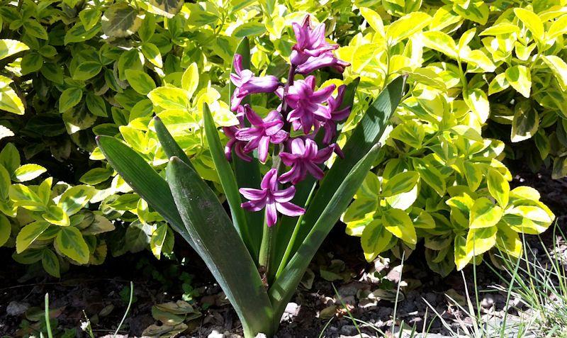 Hyacint sa pyšne týči do neba