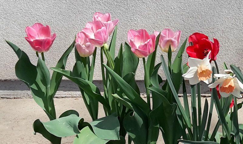 Tulipány otvorili svoje pestré kalichy