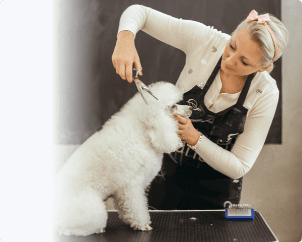 Pet groomer giving a poodle a trim