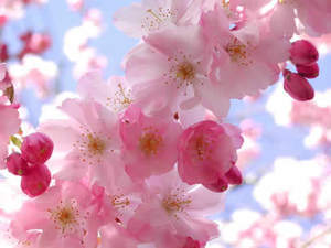 Adelaide/CherryBlossom.jpg
