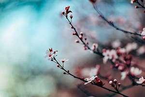Berlin/blossoms_unsplash_nitishmeena_550px.jpg