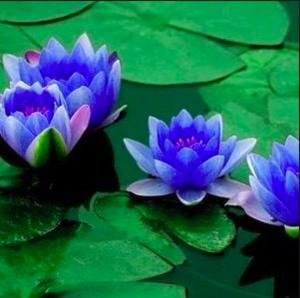 Brasil/lotus_lilas.png