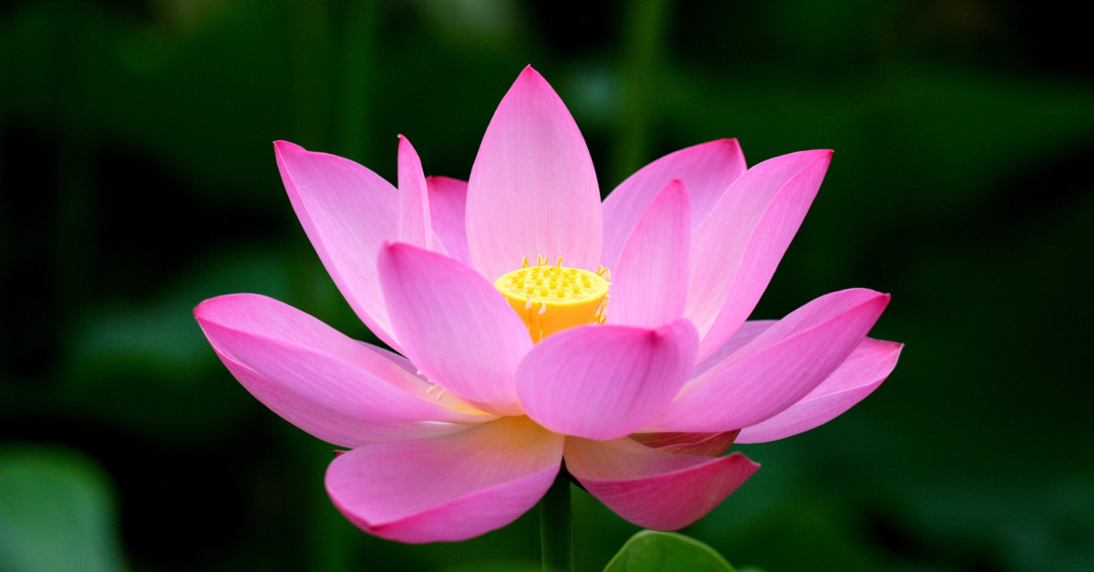 DCL/size1200x628/lotus-flower_1200x628.jpg