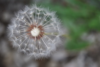 London/dandelion_image_by_Meg_Lynn_200px.jpeg