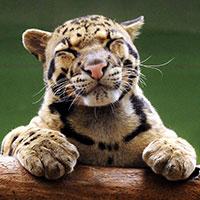 Montreal_photos/contentment-tigre.jpg