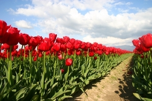 Nature/flowers_tulips.jpg