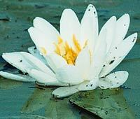 Nature/sub_small_lily.jpg