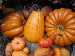 Seasonal_pictures/pumpkins-250x187.jpg