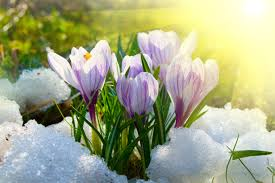 Shambhala_Online/Flowers_Thru_Snow.png